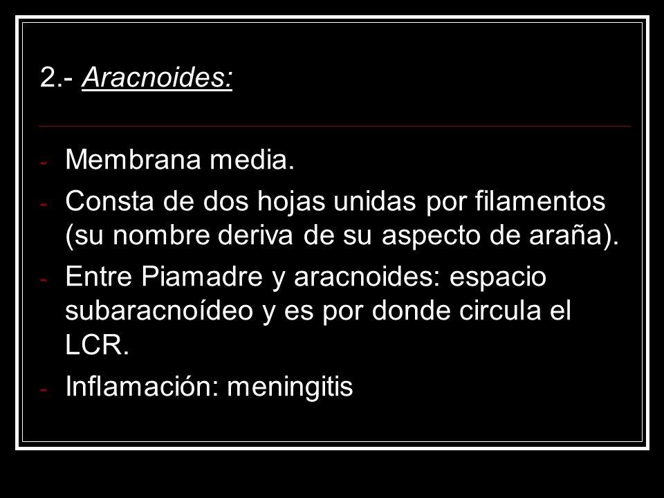 2.- Aracnoides:Membrana media. Consta de dos hojas unidas por filamentos (su nombre deriva de su aspecto de araña).