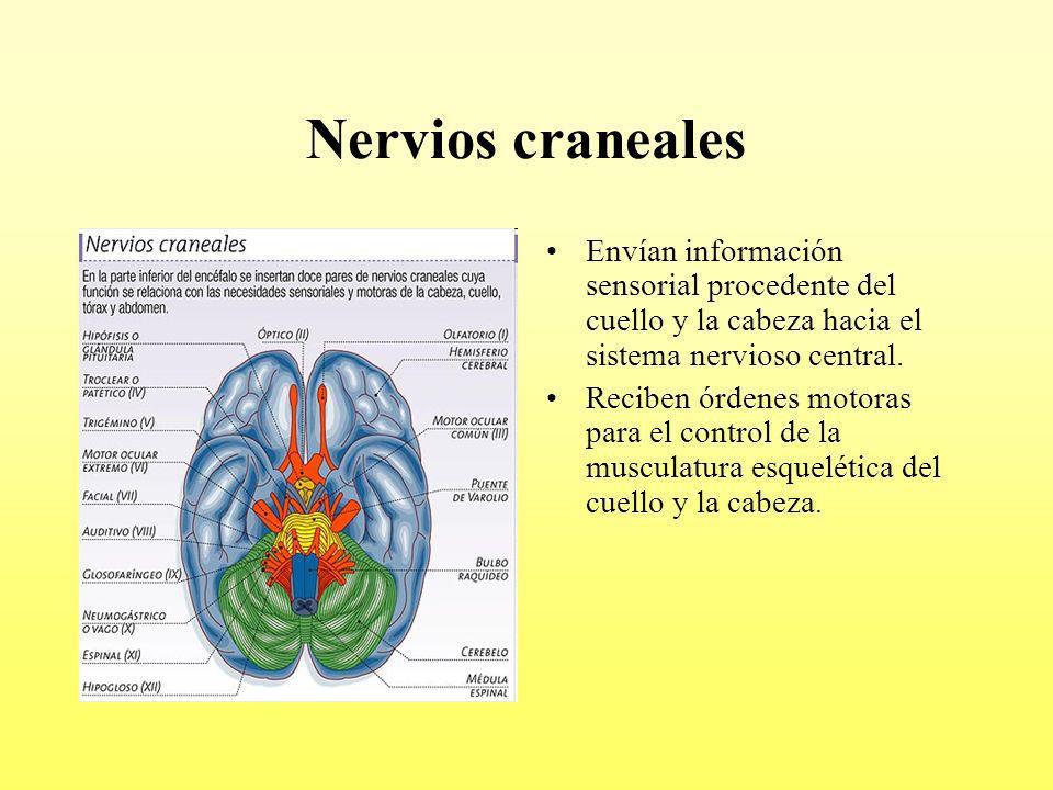 Nervios craneales Envían información sensorial procedente del cuello y la cabeza hacia el sistema nervioso central.