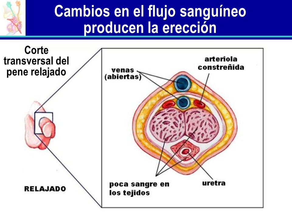 Cambios en el flujo sanguíneo producen la erección