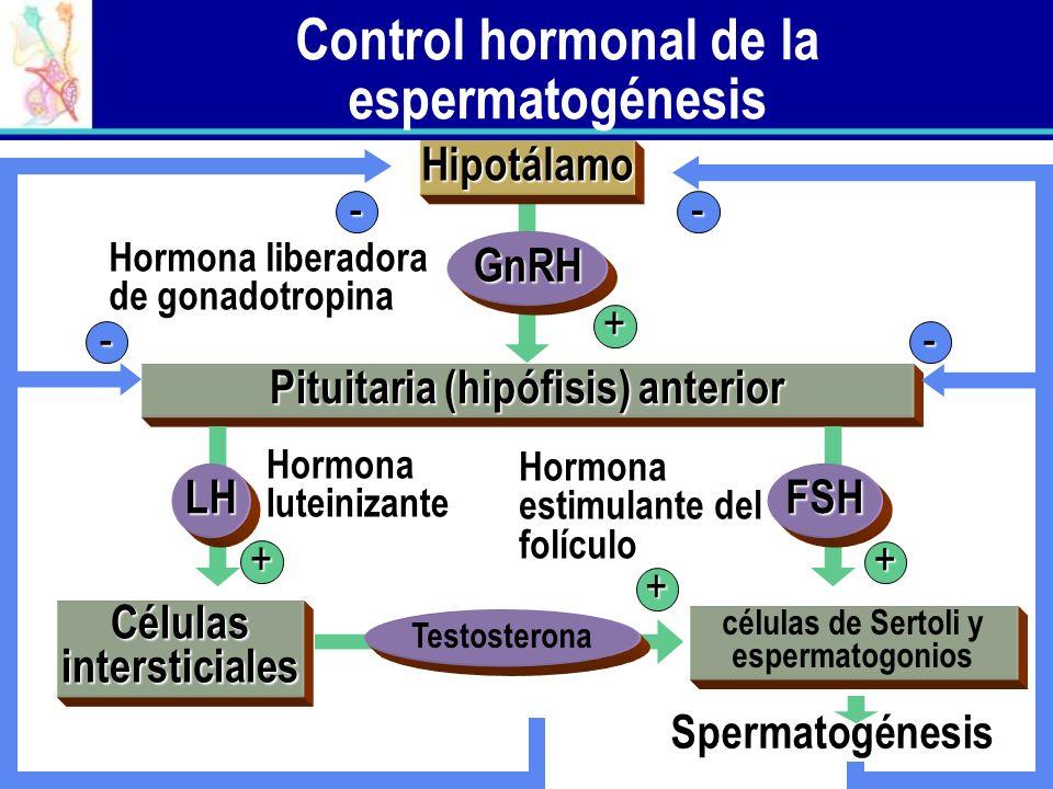 Control hormonal de la espermatogénesis