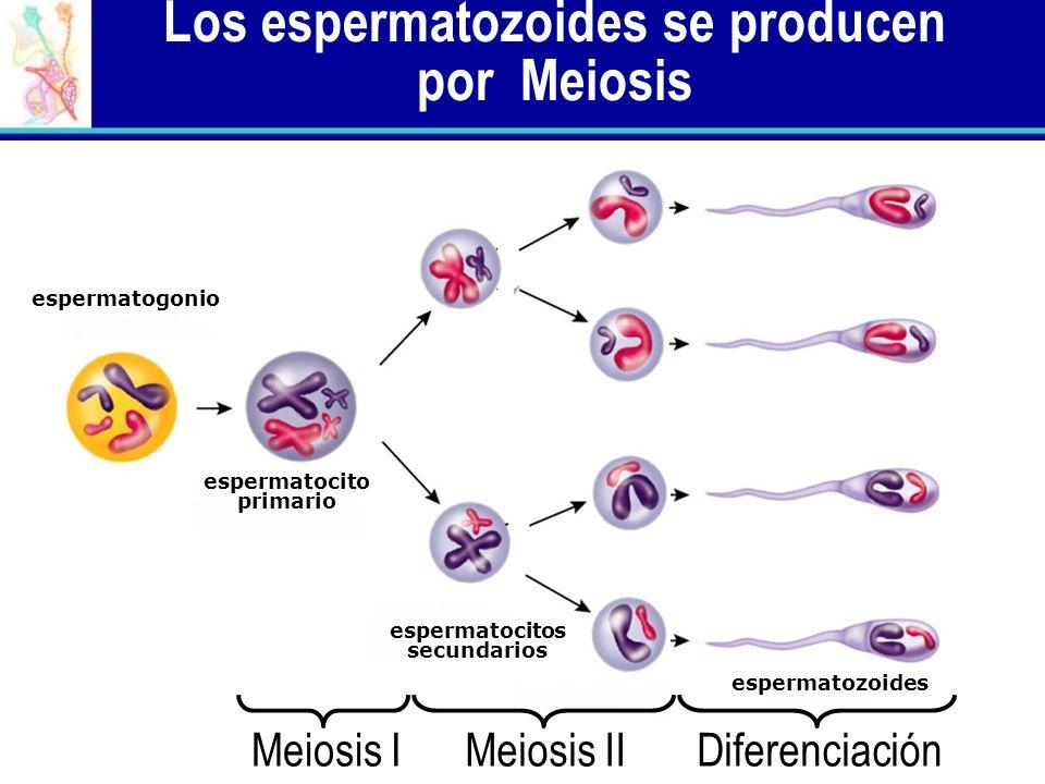 Los espermatozoides se producen por Meiosis
