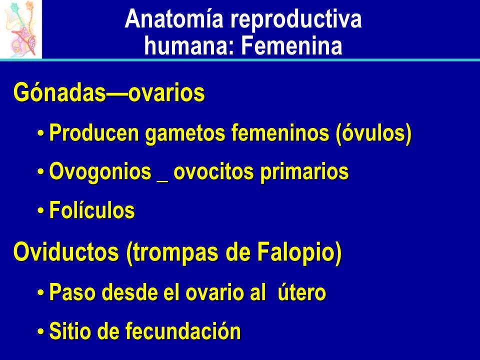 Anatomía reproductiva humana: Femenina