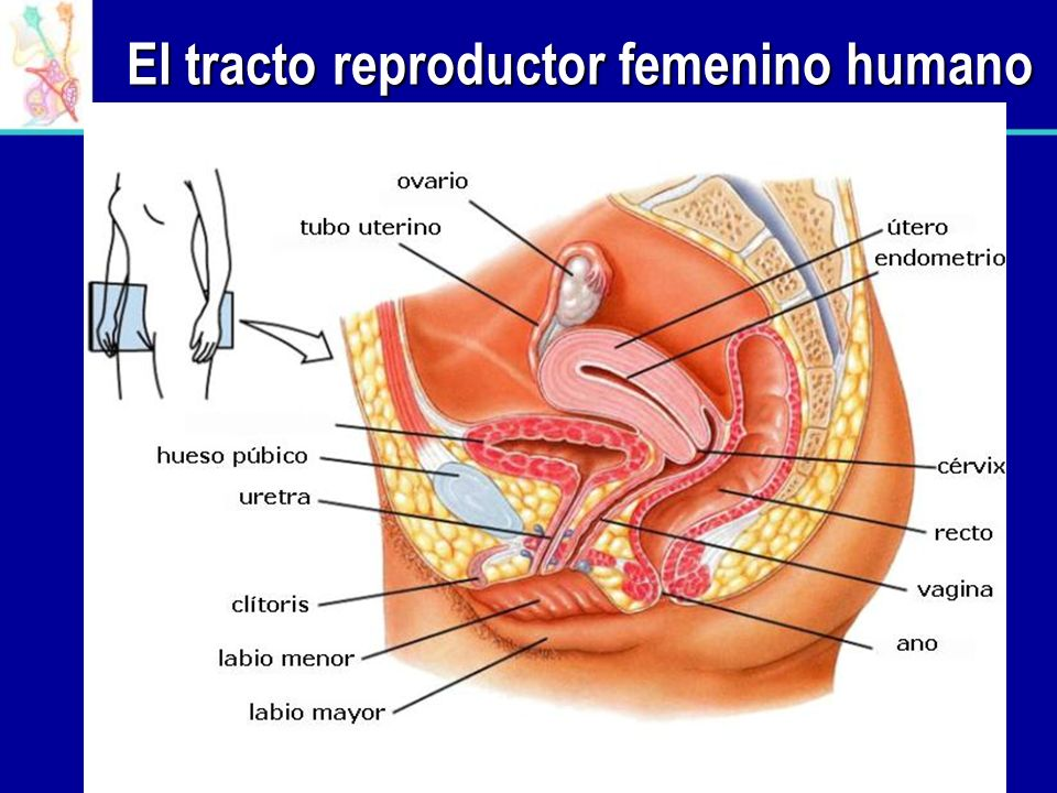 El tracto reproductor femenino humano