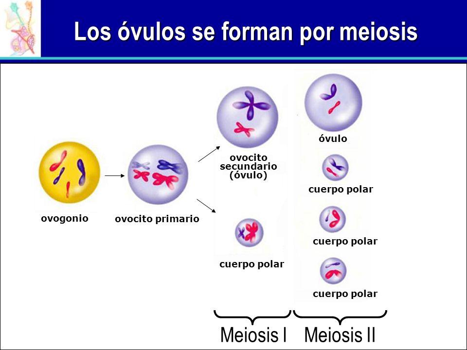 Los óvulos se forman por meiosis