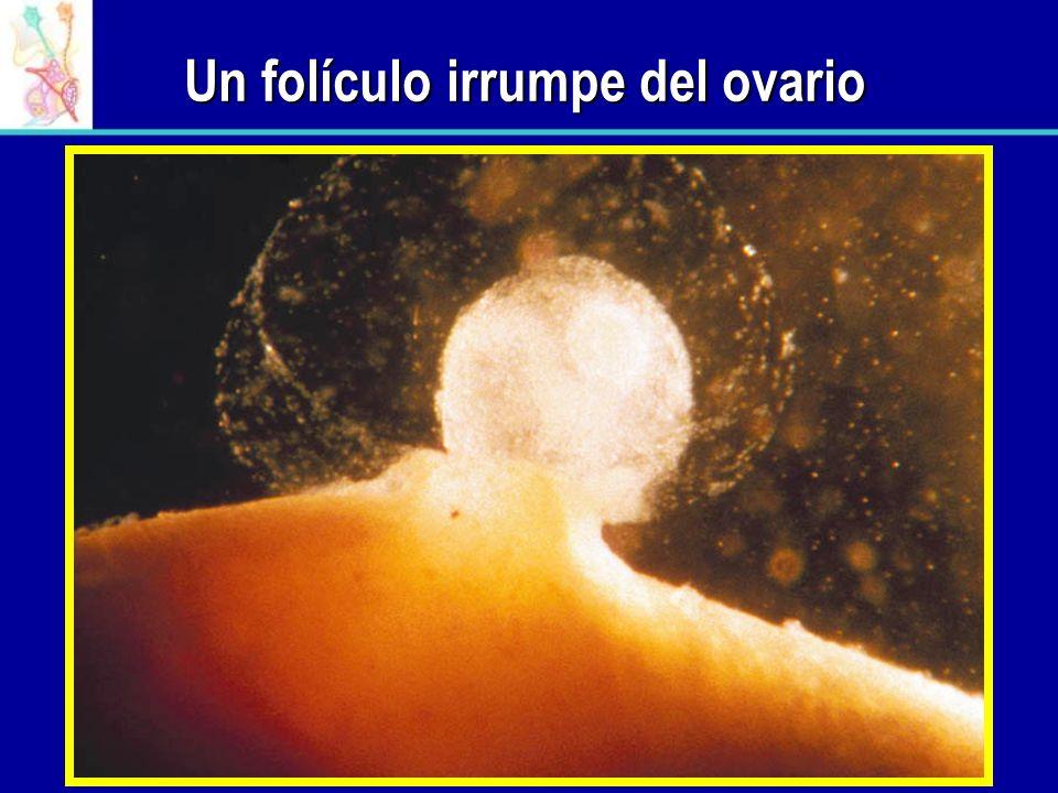 Un folículo irrumpe del ovario