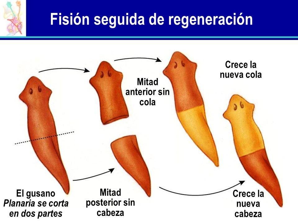 Fisión seguida de regeneración