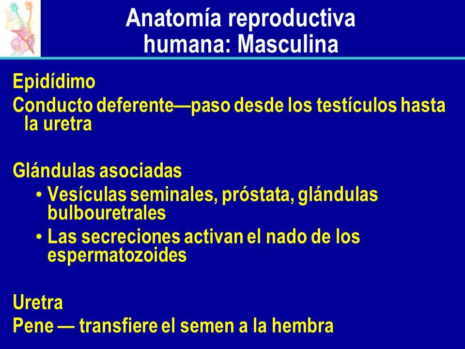 Anatomía reproductiva humana: Masculina