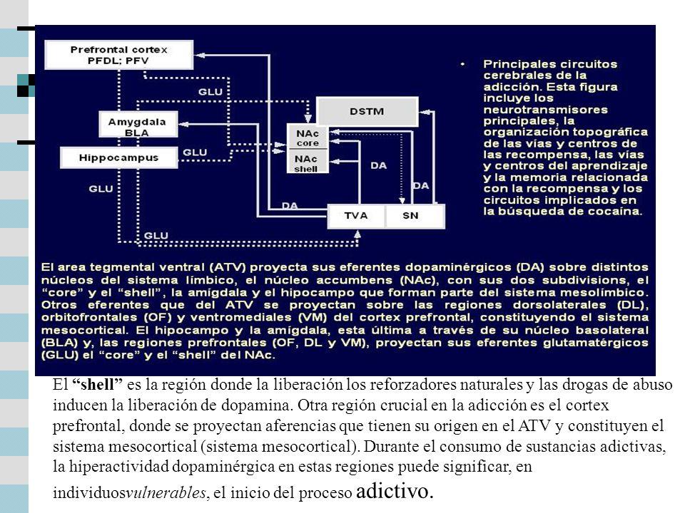 El shell es la región donde la liberación los reforzadores naturales y las drogas de abuso inducen la liberación de dopamina.