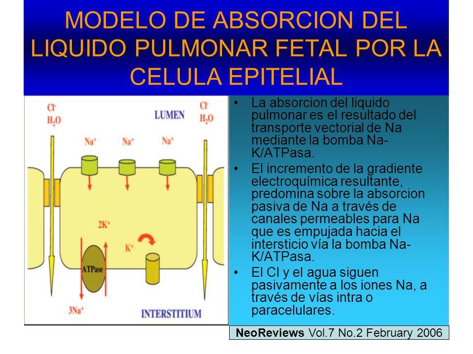 MODELO DE ABSORCION DEL LIQUIDO PULMONAR FETAL POR LA CELULA EPITELIAL
