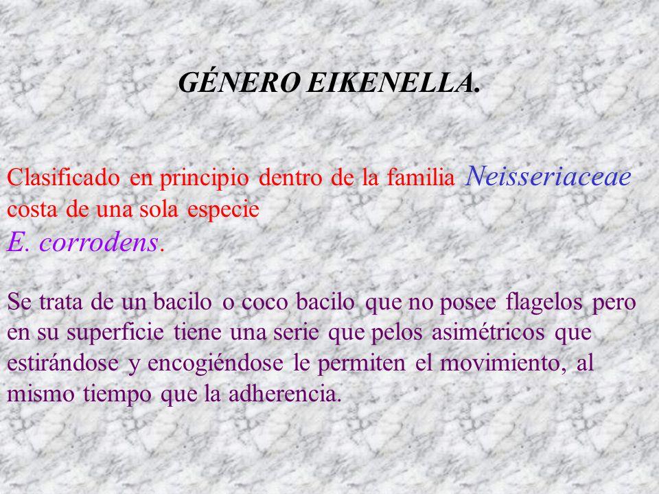 GÉNERO EIKENELLA. E. corrodens.