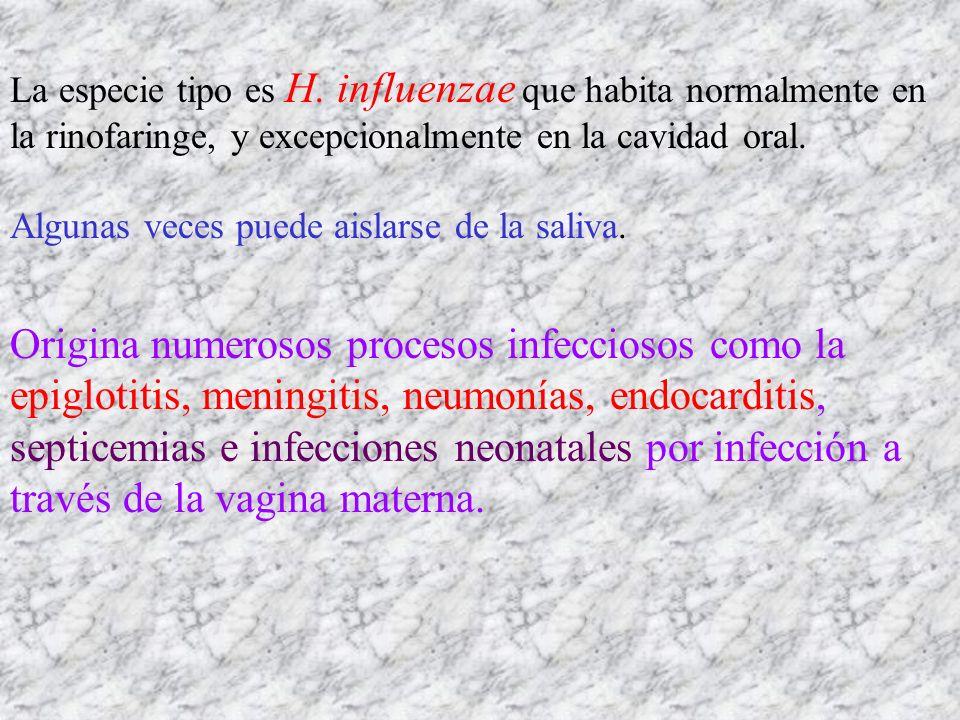 La especie tipo es H. influenzae que habita normalmente en la rinofaringe, y excepcionalmente en la cavidad oral.
