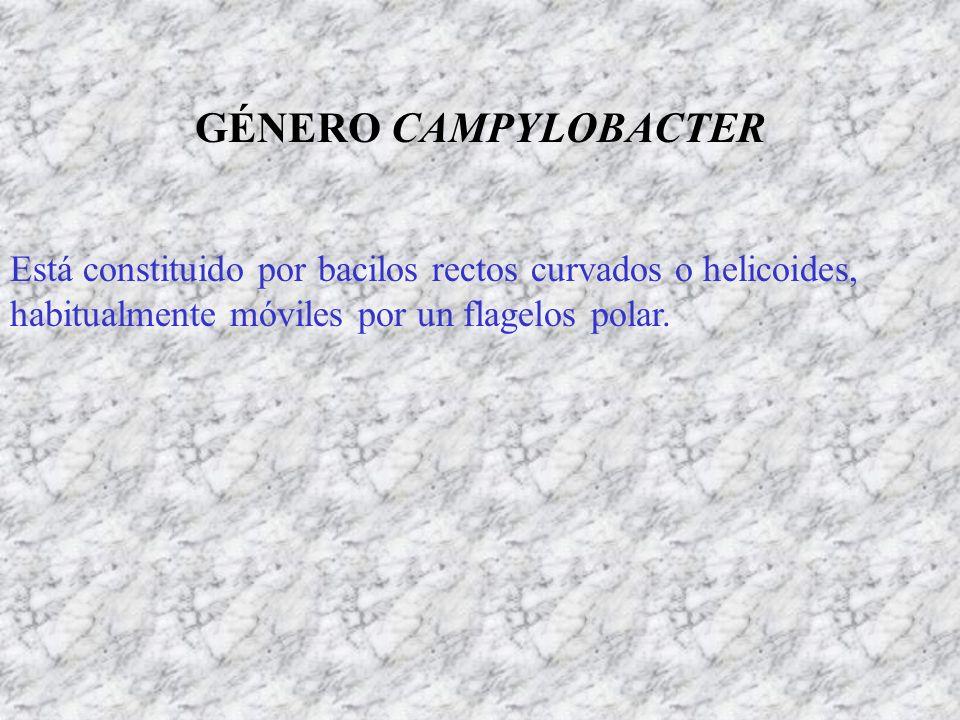 GÉNERO CAMPYLOBACTER Está constituido por bacilos rectos curvados o helicoides, habitualmente móviles por un flagelos polar.