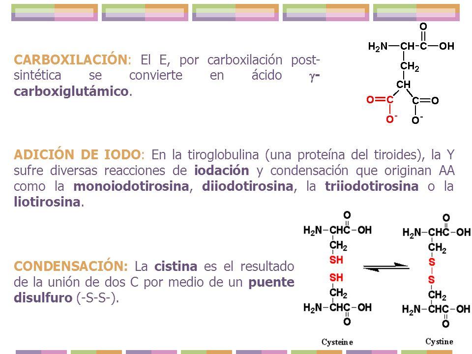 CARBOXILACIÓN: El E, por carboxilación post-sintética se convierte en ácido -carboxiglutámico.