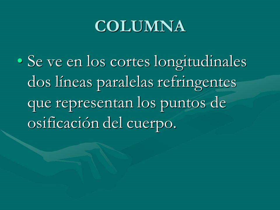 COLUMNA Se ve en los cortes longitudinales dos líneas paralelas refringentes que representan los puntos de osificación del cuerpo.