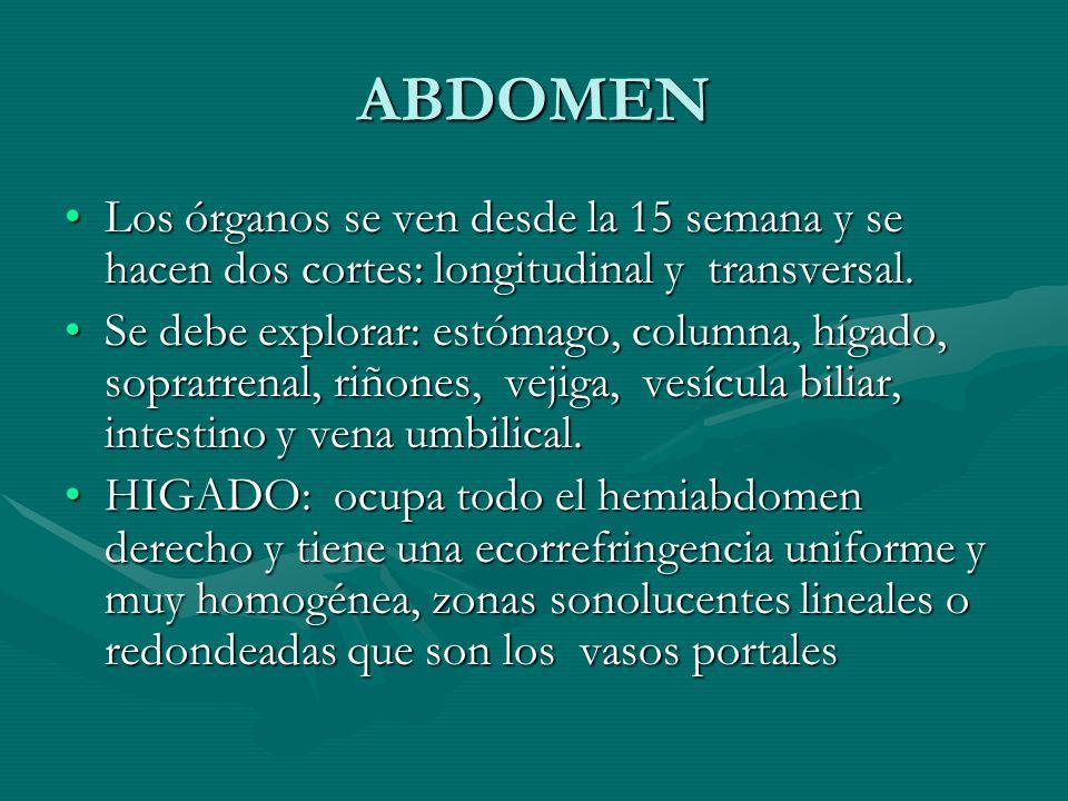 ABDOMEN Los órganos se ven desde la 15 semana y se hacen dos cortes: longitudinal y transversal.