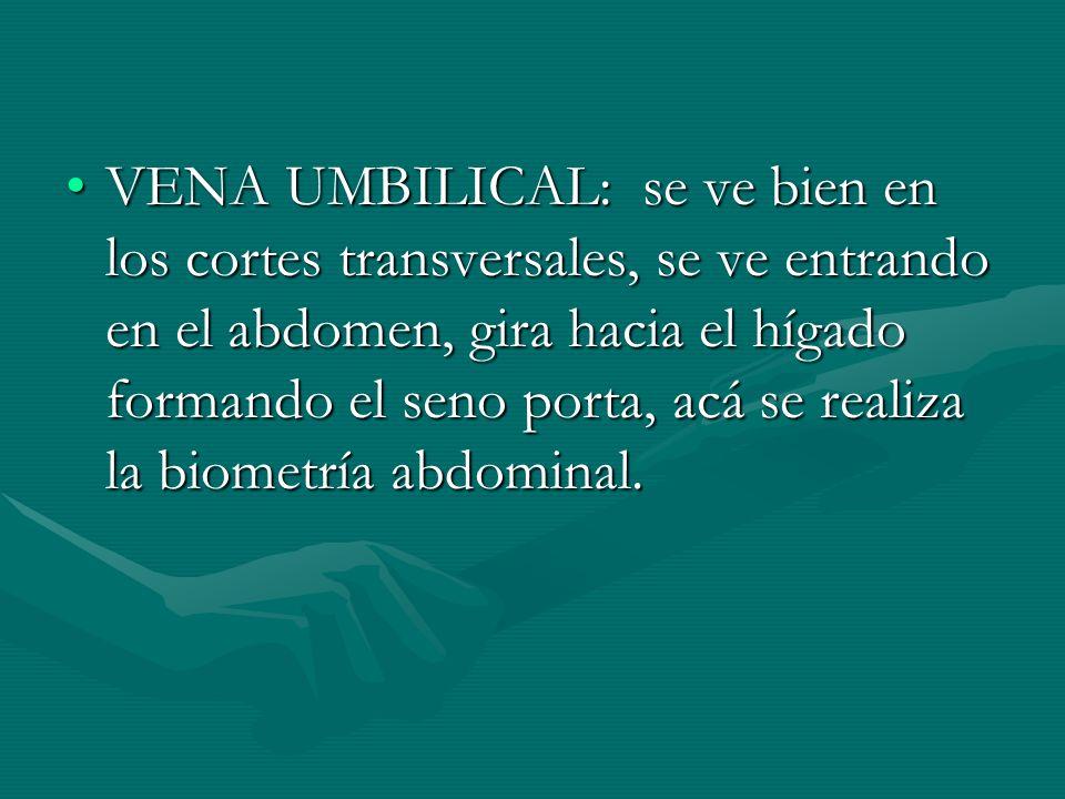 VENA UMBILICAL: se ve bien en los cortes transversales, se ve entrando en el abdomen, gira hacia el hígado formando el seno porta, acá se realiza la biometría abdominal.