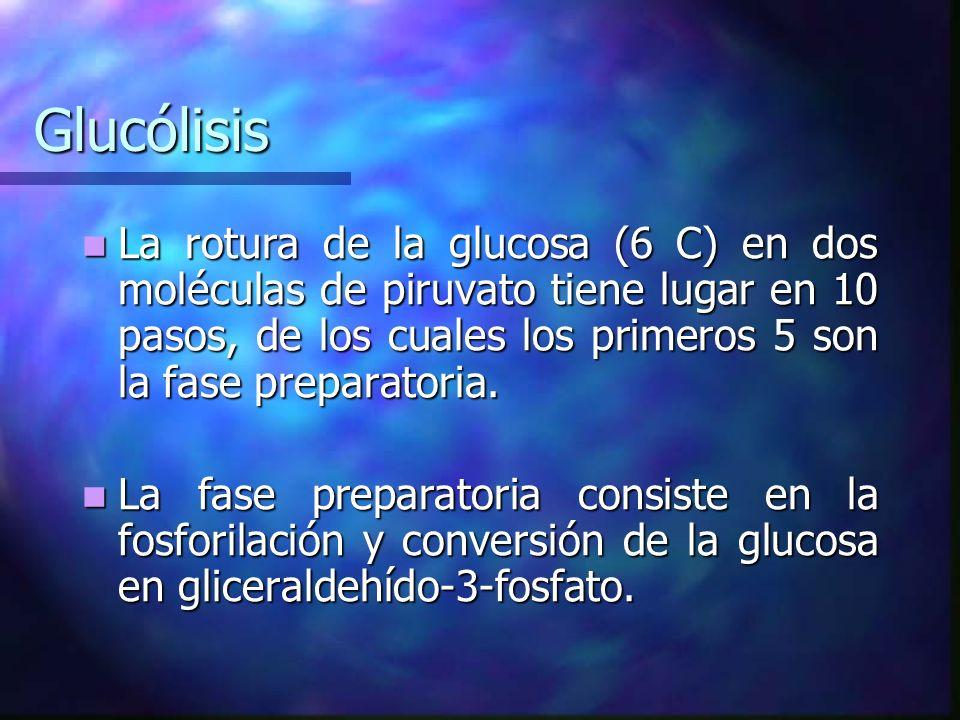 GlucólisisLa rotura de la glucosa (6 C) en dos moléculas de piruvato tiene lugar en 10 pasos, de los cuales los primeros 5 son la fase preparatoria.