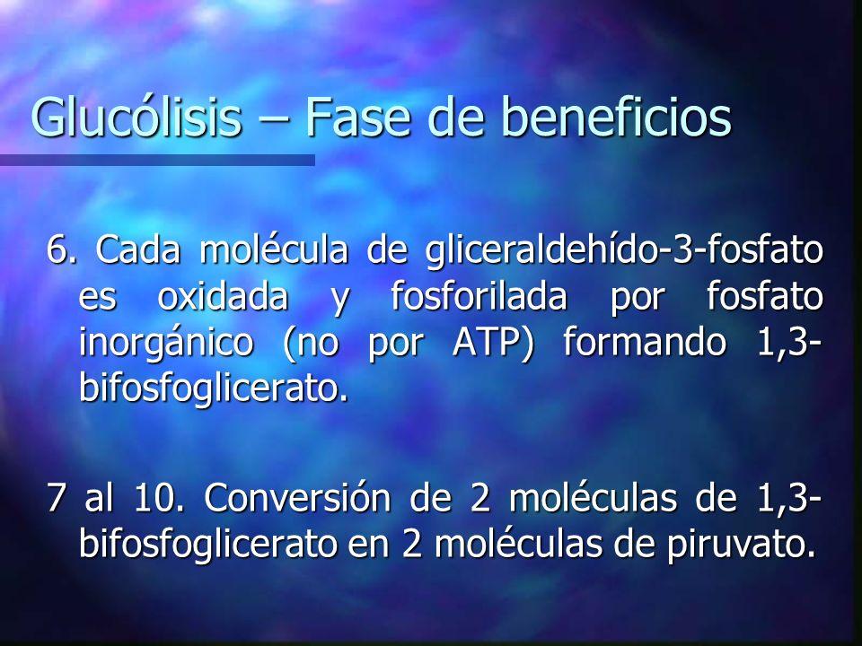 Glucólisis – Fase de beneficios