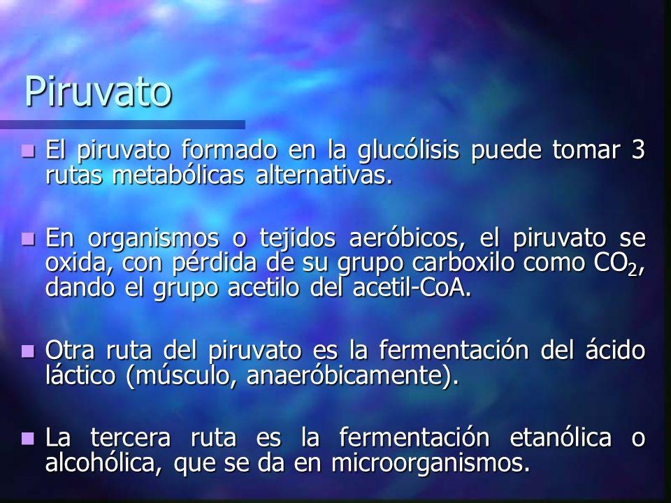 Piruvato El piruvato formado en la glucólisis puede tomar 3 rutas metabólicas alternativas.