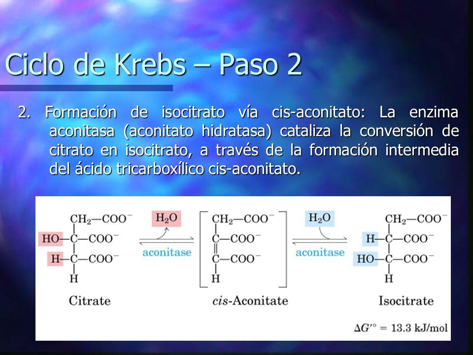 Ciclo de Krebs – Paso 2