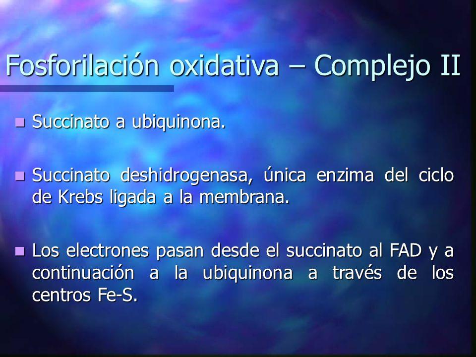 Fosforilación oxidativa – Complejo II