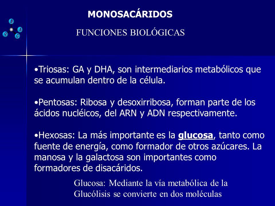 MONOSACÁRIDOS FUNCIONES BIOLÓGICAS. Triosas: GA y DHA, son intermediarios metabólicos que se acumulan dentro de la célula.