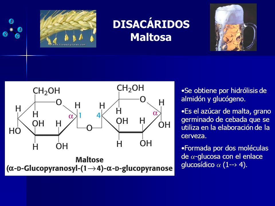 DISACÁRIDOS Maltosa Se obtiene por hidrólisis de almidón y glucógeno.