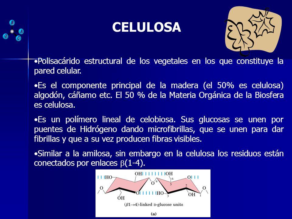CELULOSA Polisacárido estructural de los vegetales en los que constituye la pared celular.