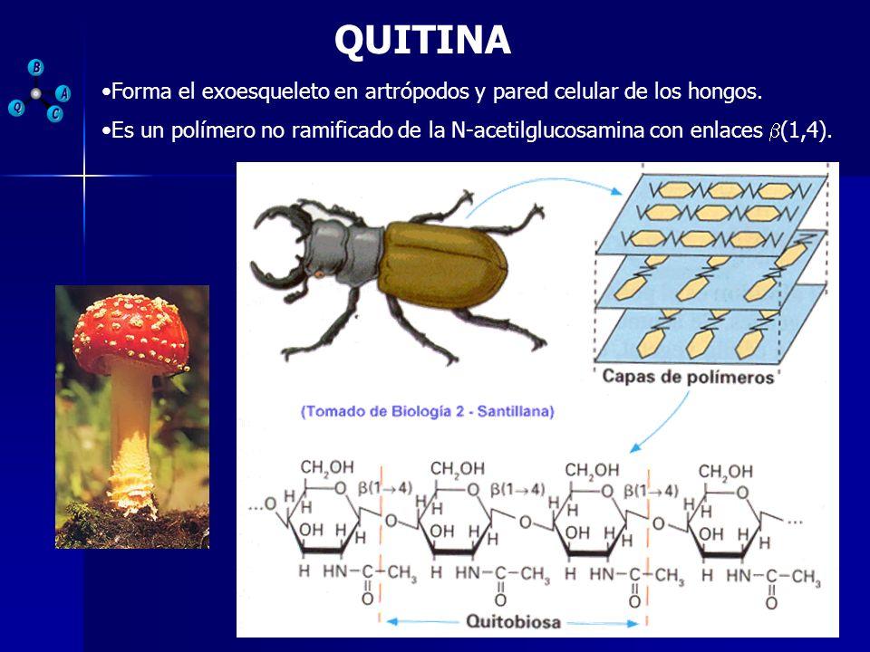 QUITINAForma el exoesqueleto en artrópodos y pared celular de los hongos.