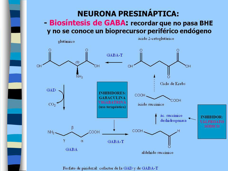 NEURONA PRESINÁPTICA: - Biosíntesis de GABA: recordar que no pasa BHE
