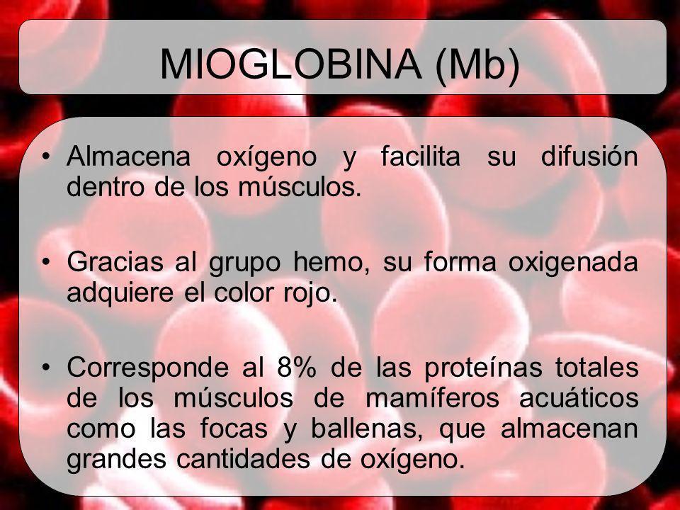 MIOGLOBINA (Mb) Almacena oxígeno y facilita su difusión dentro de los músculos. Gracias al grupo hemo, su forma oxigenada adquiere el color rojo.