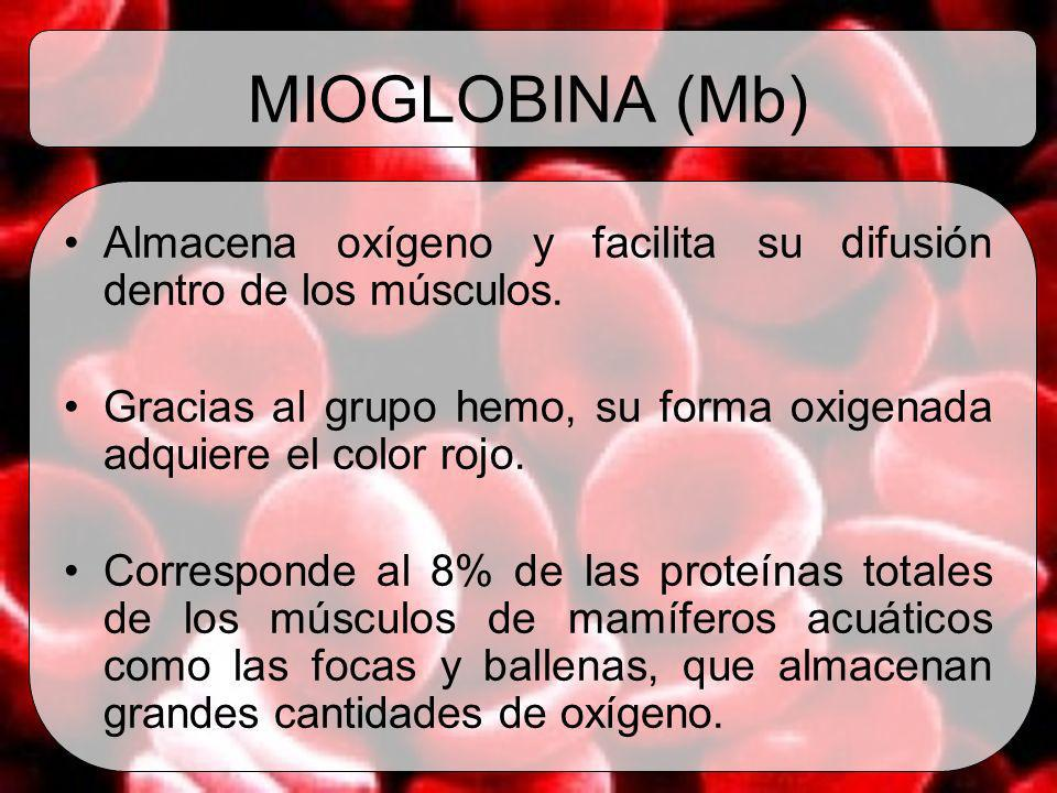 MIOGLOBINA (Mb)Almacena oxígeno y facilita su difusión dentro de los músculos. Gracias al grupo hemo, su forma oxigenada adquiere el color rojo.