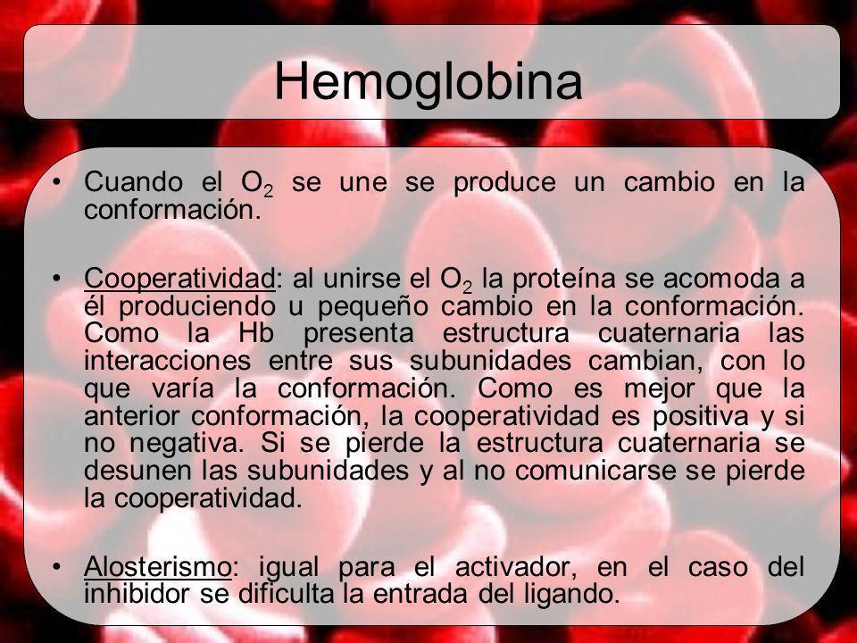 Hemoglobina Cuando el O2 se une se produce un cambio en la conformación.