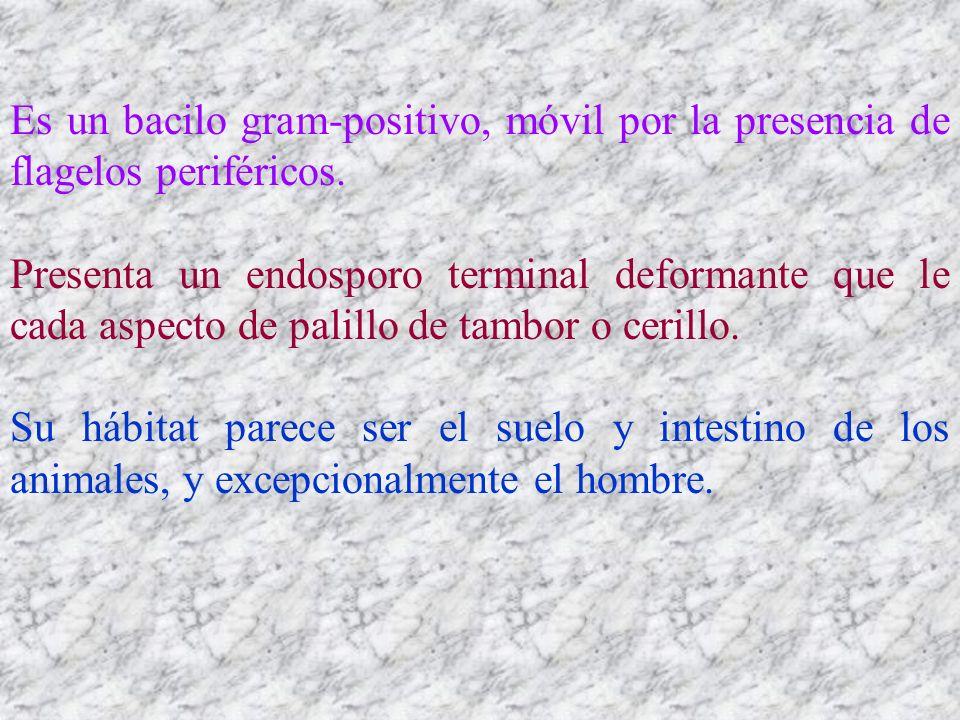 Es un bacilo gram-positivo, móvil por la presencia de flagelos periféricos.
