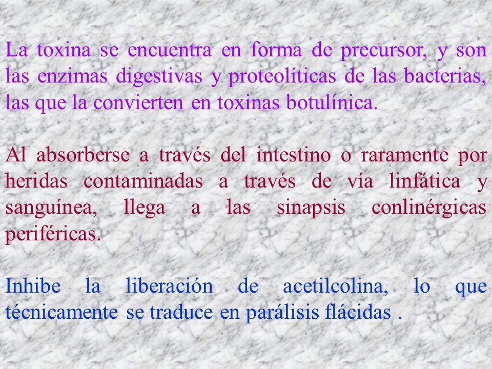 La toxina se encuentra en forma de precursor, y son las enzimas digestivas y proteolíticas de las bacterias, las que la convierten en toxinas botulínica.