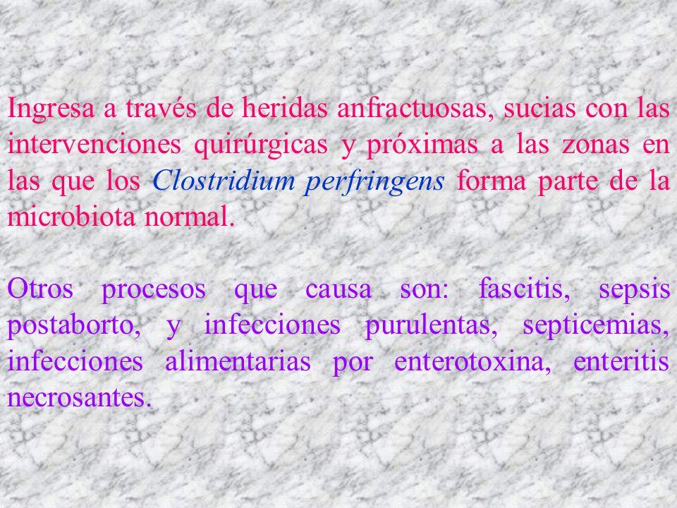 Ingresa a través de heridas anfractuosas, sucias con las intervenciones quirúrgicas y próximas a las zonas en las que los Clostridium perfringens forma parte de la microbiota normal.