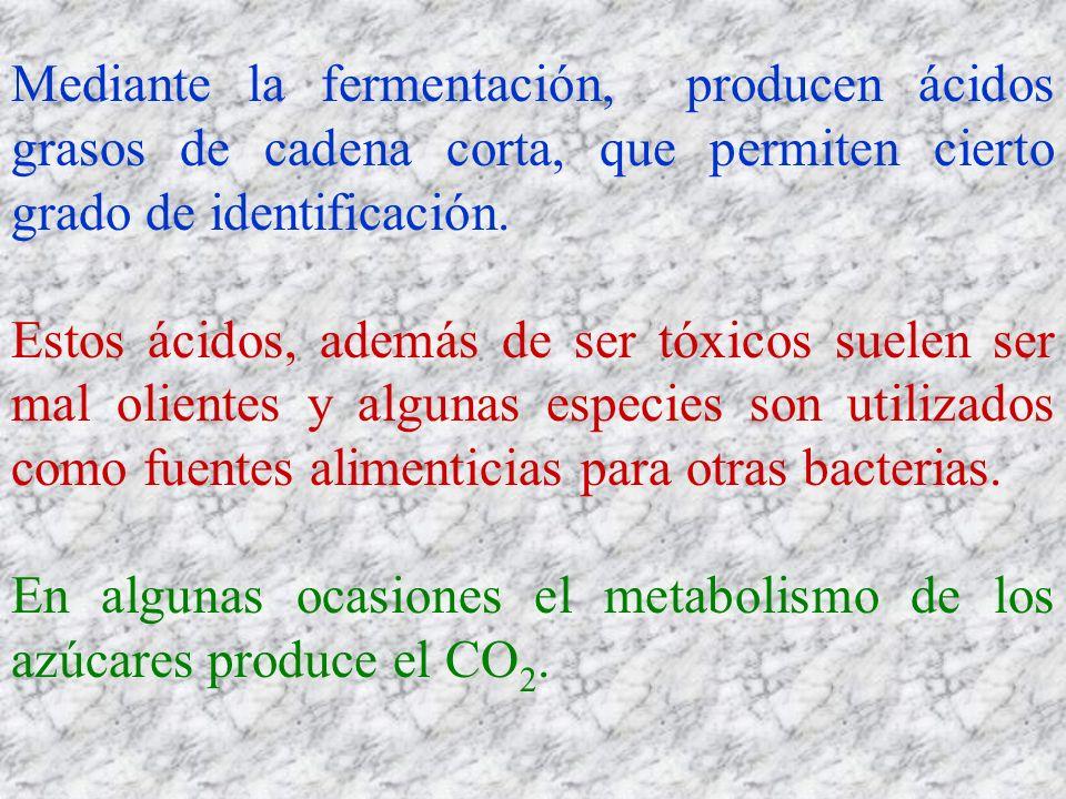 Mediante la fermentación, producen ácidos grasos de cadena corta, que permiten cierto grado de identificación.