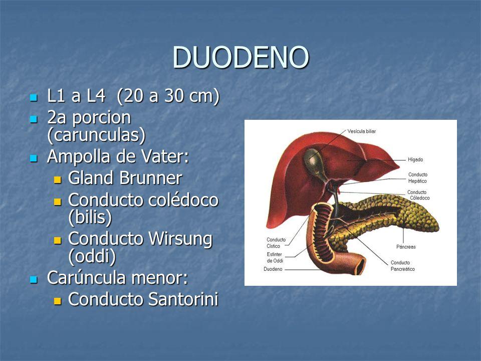 DUODENO L1 a L4 (20 a 30 cm) 2a porcion (carunculas) Ampolla de Vater:
