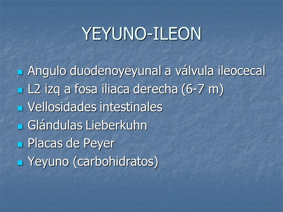 YEYUNO-ILEON Angulo duodenoyeyunal a válvula ileocecal