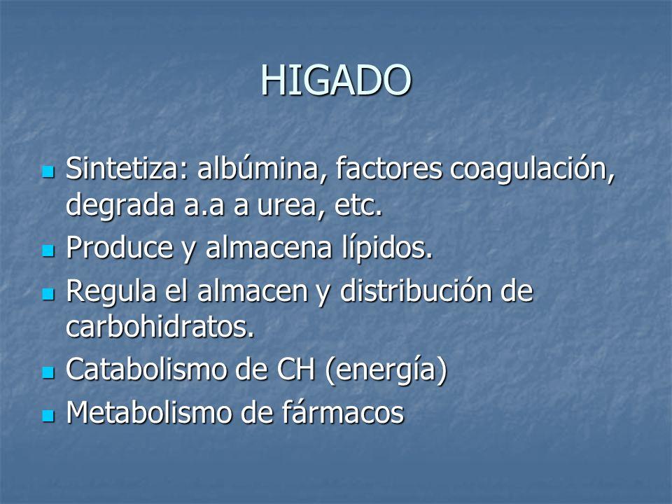 HIGADO Sintetiza: albúmina, factores coagulación, degrada a.a a urea, etc. Produce y almacena lípidos.