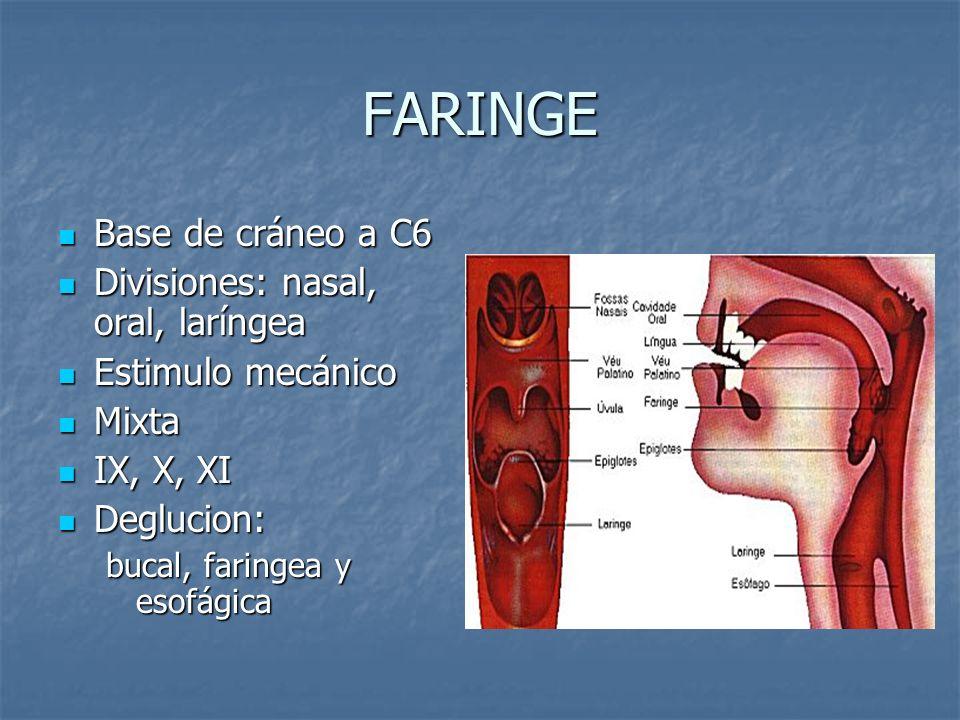FARINGE Base de cráneo a C6 Divisiones: nasal, oral, laríngea