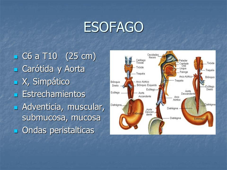 ESOFAGO C6 a T10 (25 cm) Carótida y Aorta X, Simpático Estrechamientos