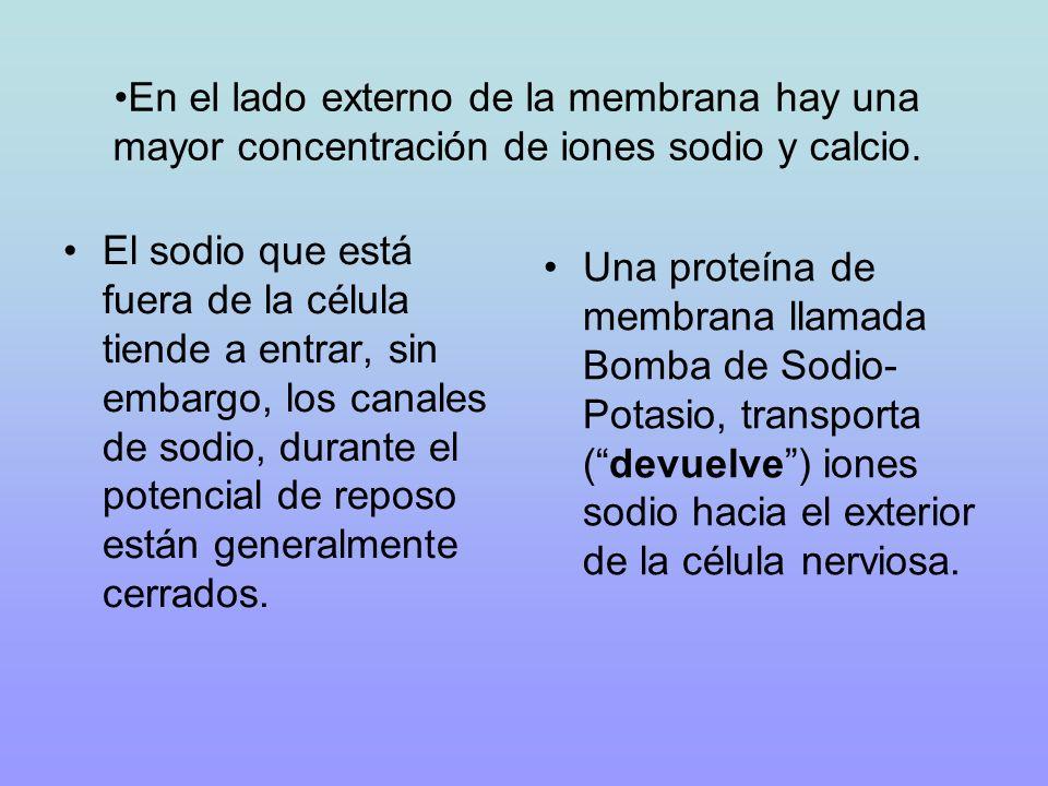 En el lado externo de la membrana hay una mayor concentración de iones sodio y calcio.