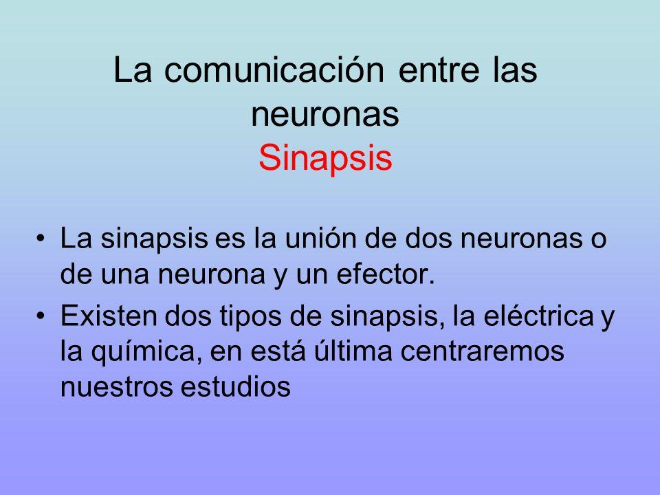 La comunicación entre las neuronas Sinapsis