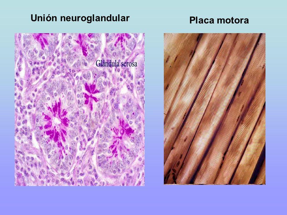 Unión neuroglandular Placa motora
