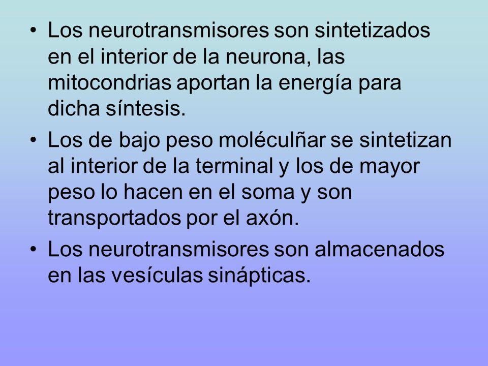 Los neurotransmisores son sintetizados en el interior de la neurona, las mitocondrias aportan la energía para dicha síntesis.
