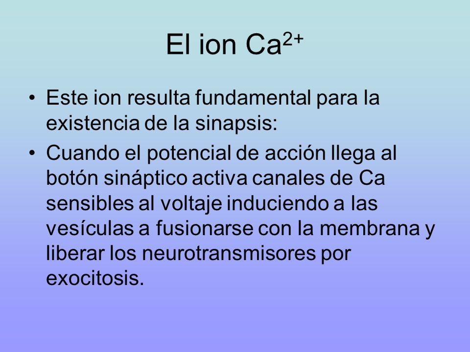 El ion Ca2+ Este ion resulta fundamental para la existencia de la sinapsis: