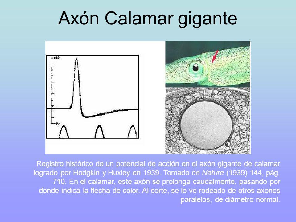 Axón Calamar gigante