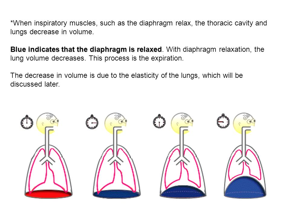 *When inspiratory muscles, such as the diaphragm relax, the thoracic cavity and lungs decrease in volume.