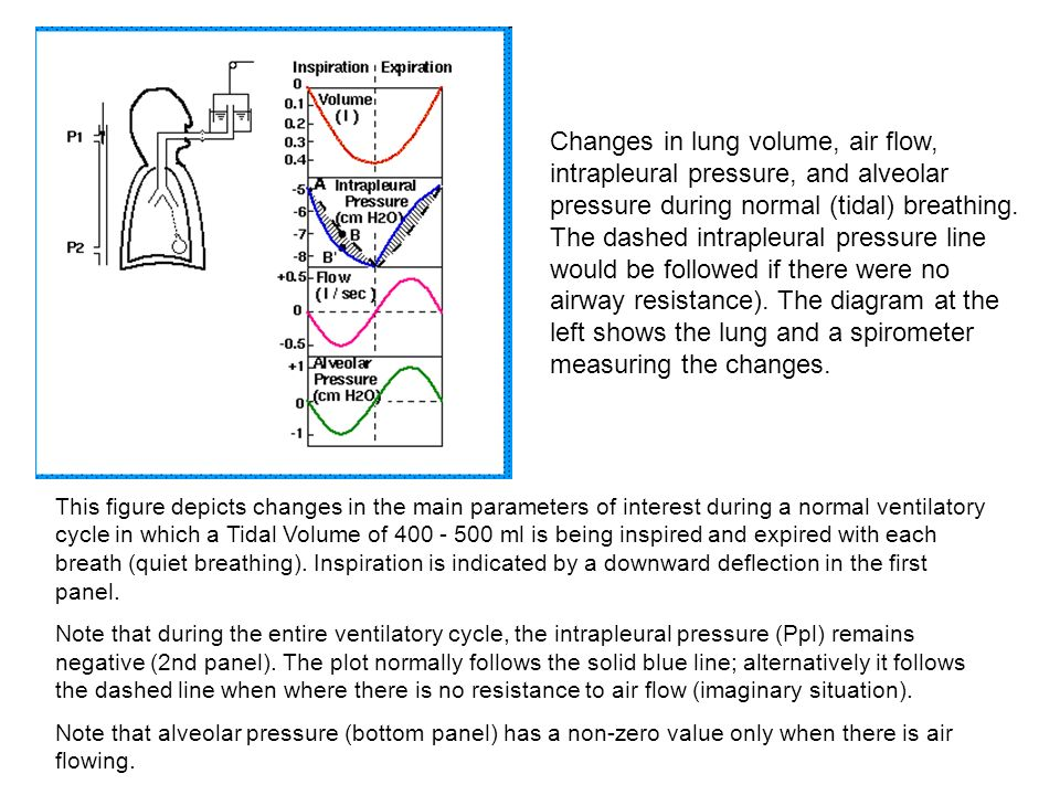 Changes in lung volume, air flow, intrapleural pressure, and alveolar pressure during normal (tidal) breathing. The dashed intrapleural pressure line would be followed if there were no airway resistance). The diagram at the left shows the lung and a spirometer measuring the changes.